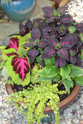 Colorful potted coleus plants
