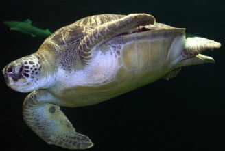 pictures of sea turtles on the beach green sea photos photo photographs turtles pics baby